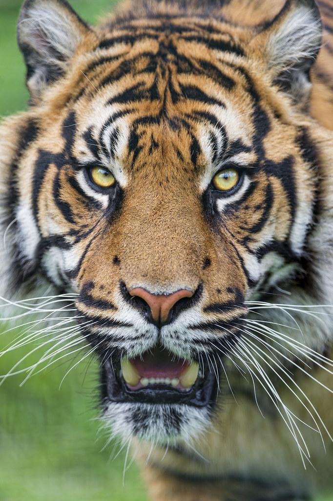 A Nice Portrait Of A Sumatran Tiger I Really Like This