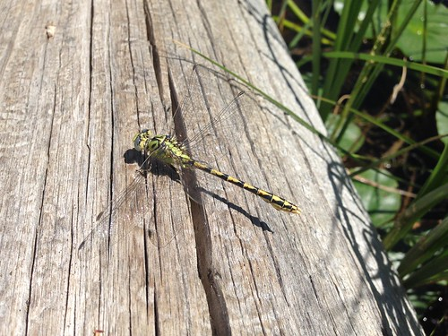 Dragonfly at Lilypad Lake