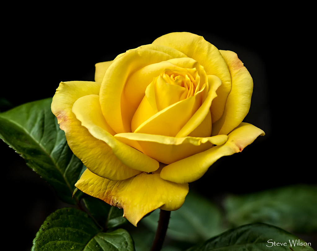 The yellow rose of Texas .... possibly | Photographed at ...