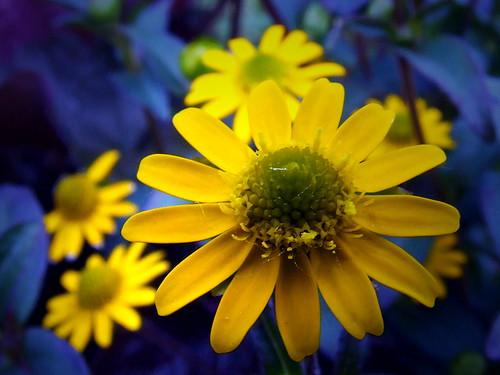 gelbe margerite yellow daisy 1306080277 g upi flickr. Black Bedroom Furniture Sets. Home Design Ideas