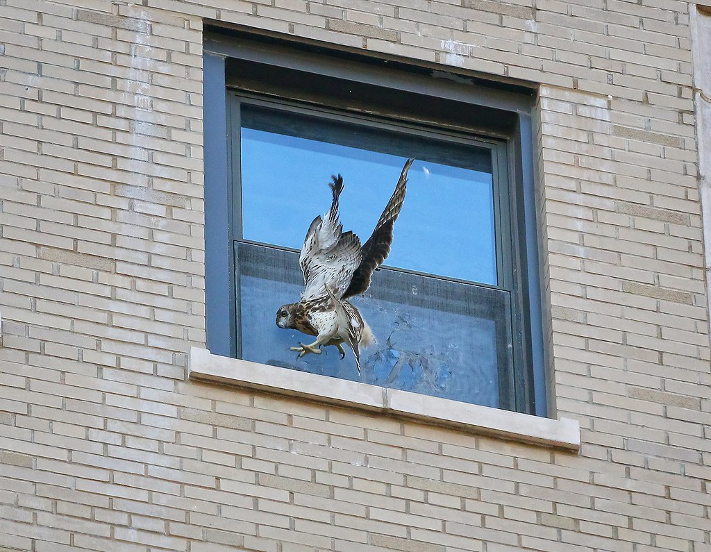 Fledgling #1 battling with a window screen