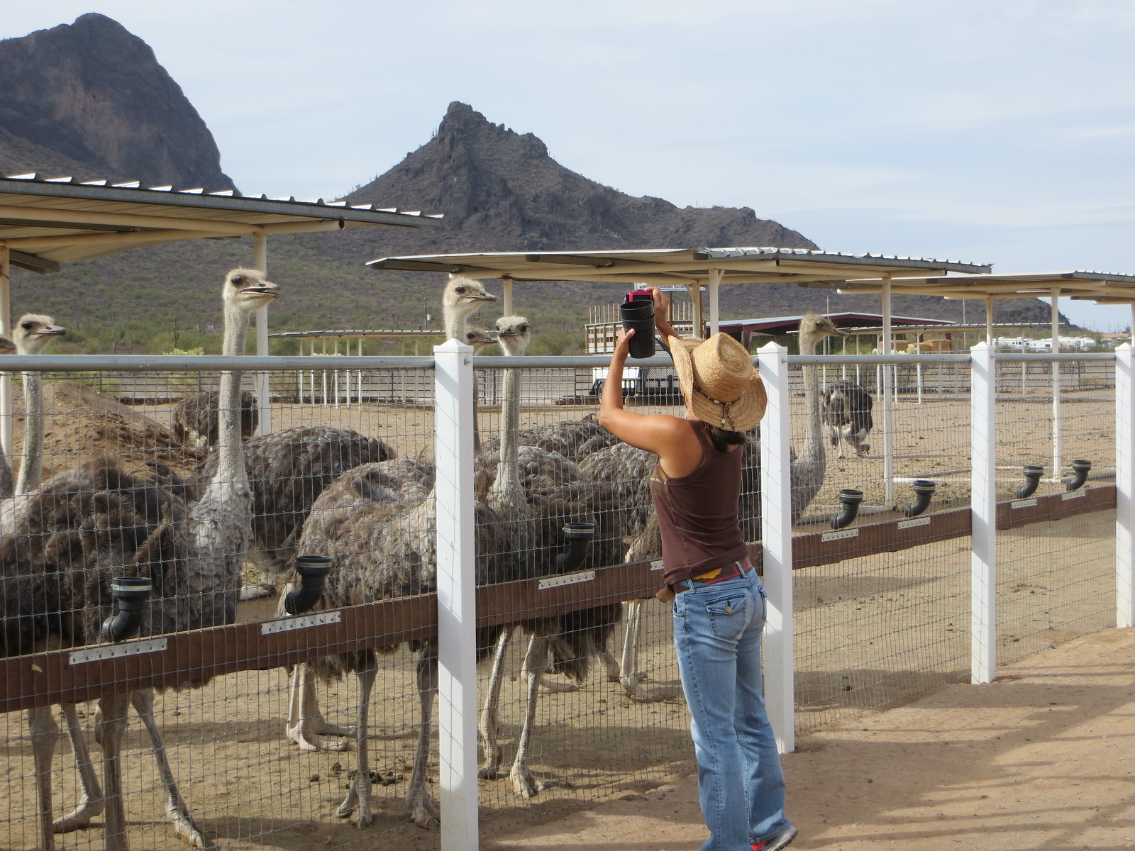 PIC: Rooster Cogburn Ostrich Ranch - A Flock or Herd of Ostriches
