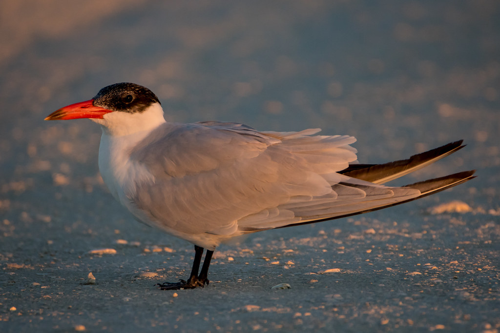 the caspian tern | Thi...