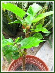 Young rooted cutting of Mulberry (Morus specie), already with fruits! Captured on Feb 21 2014