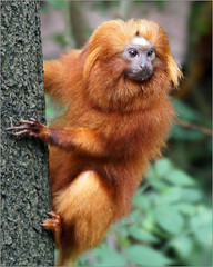 Golden lion tamarin on the lookout