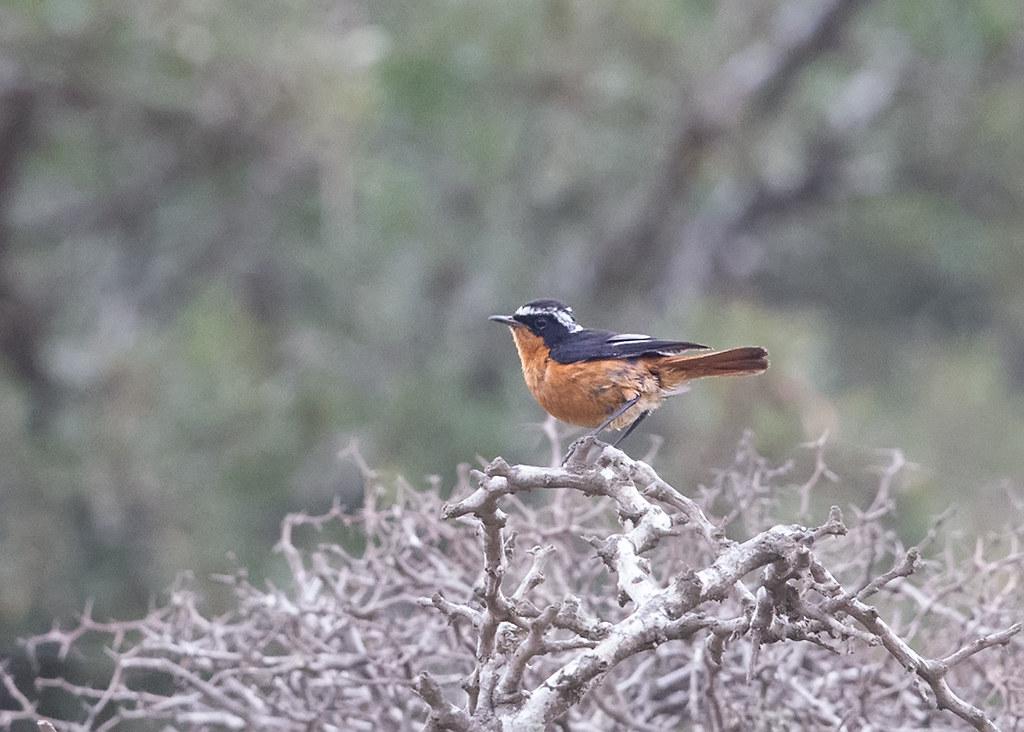Moussier's Redstart  Morocco