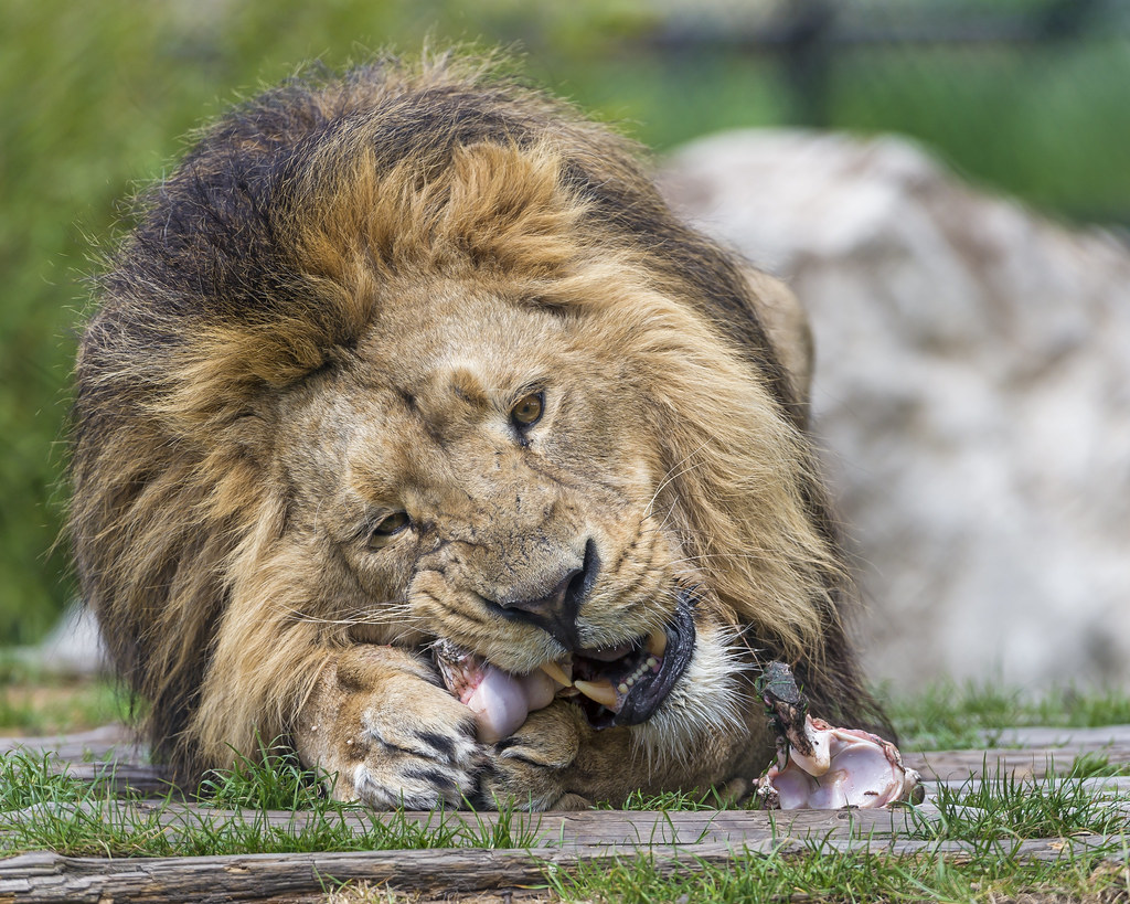 What do white lions eat - photo#41