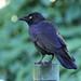 Torresian Crow 130614 Corvus orru