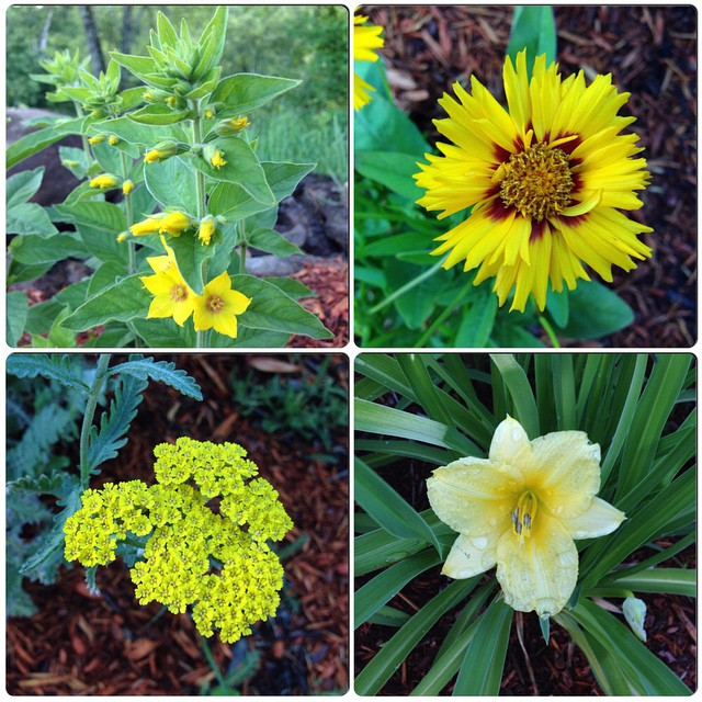 Yellow flowers in bloom. Clockwise from top left: yellow #loosestrife, #coreopsis rising sun, stella d'oro #daylily, achillea #yarrow.