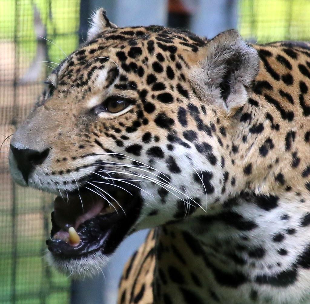 White Jaguar Cat: REGION-South America, The Jaguar Is The Largest