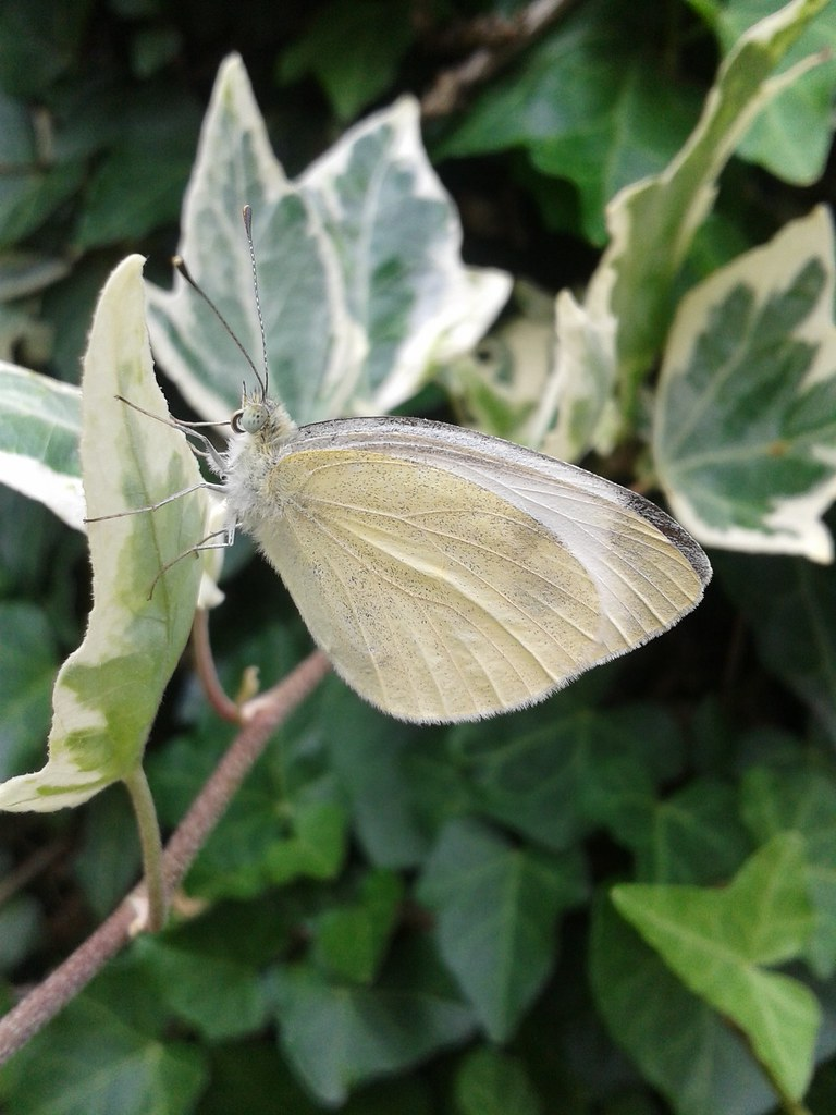 how to get rid of cabbage white butterflies