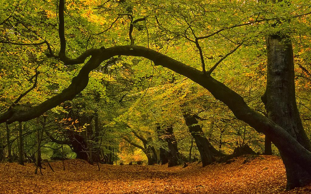 Lady S Walk Ashridge Forest Hertfordshire Uk Early Au