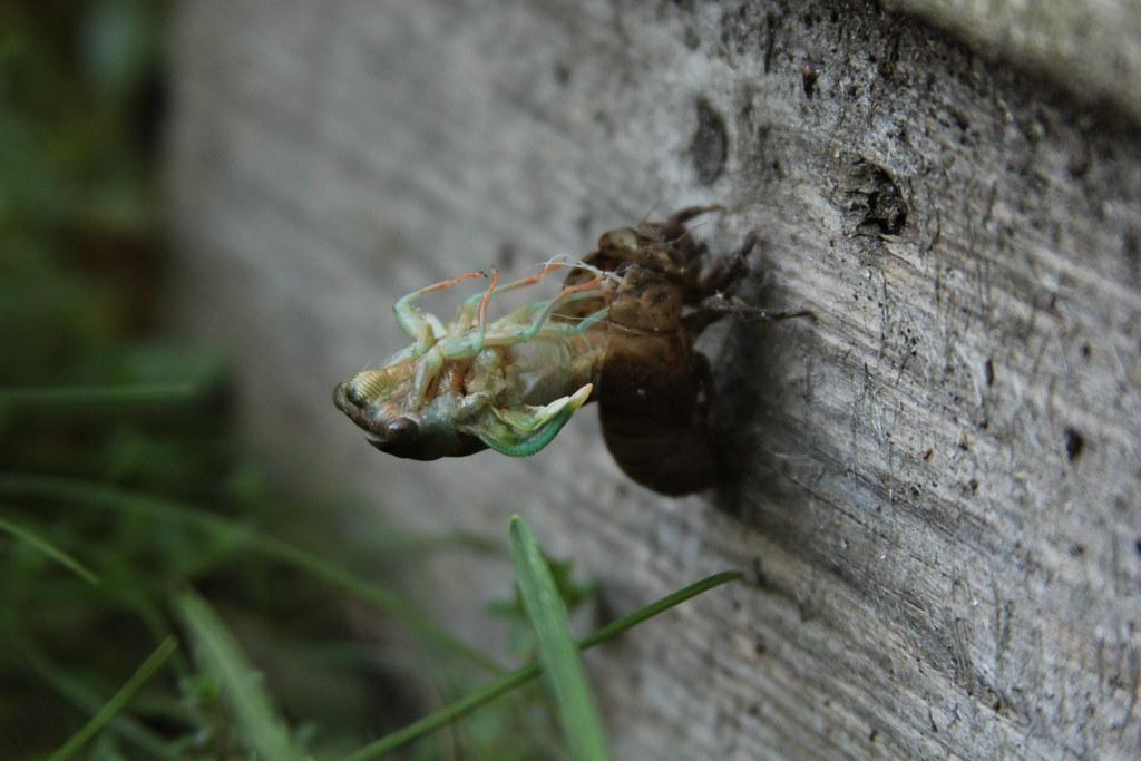 Dog Day Cicada Sound Effects