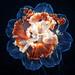 Cyanea capillata flower