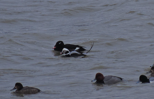 Male Long-tailed Duck with male White-winged Scoter (also redheads and a scaup)