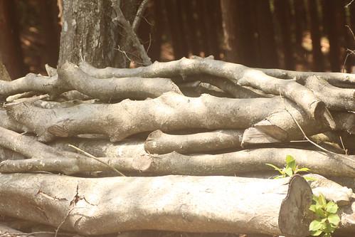 ゴマダラモモブトカミキリ