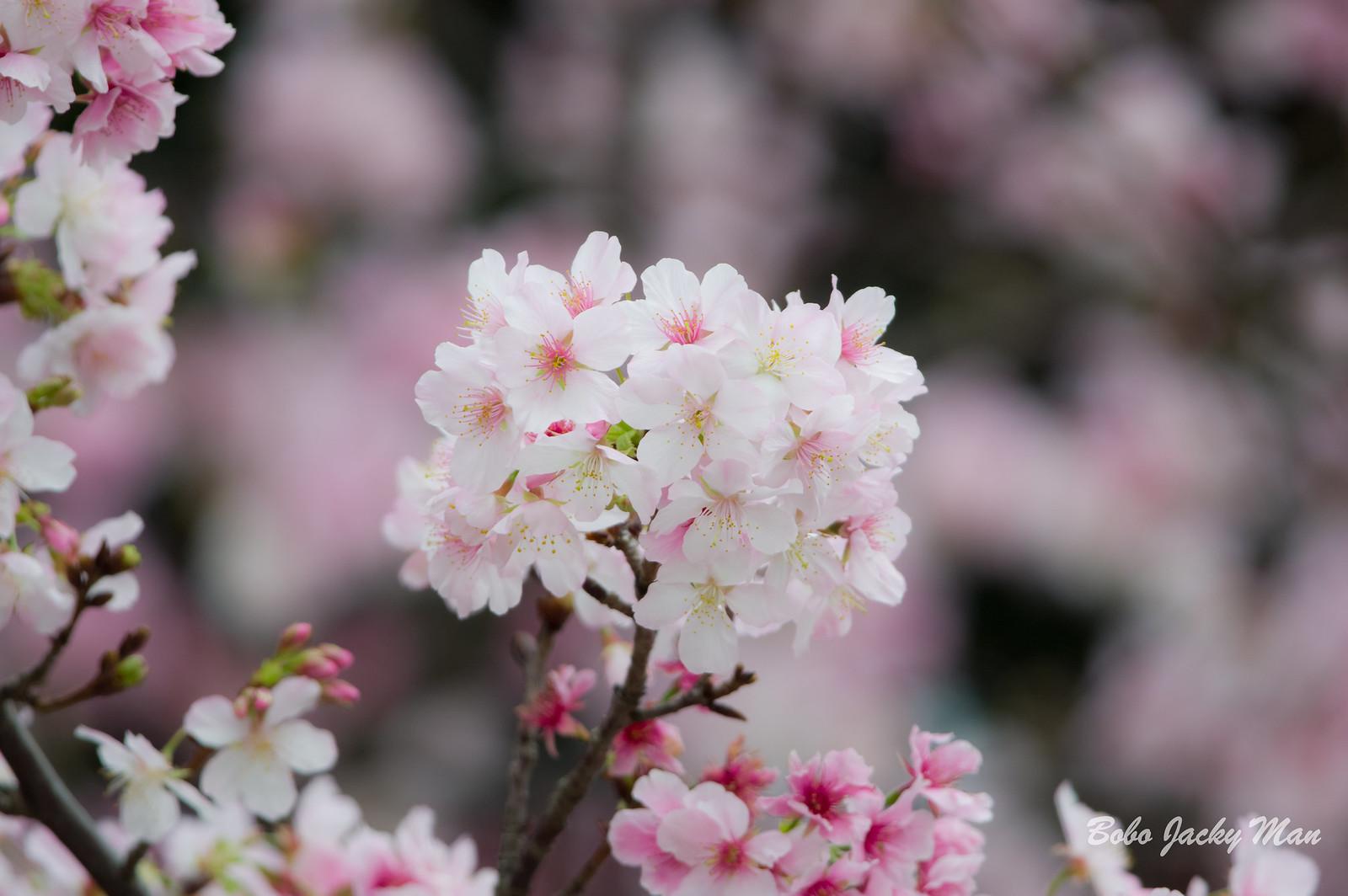 怱忙回台拍櫻花之吉野櫻