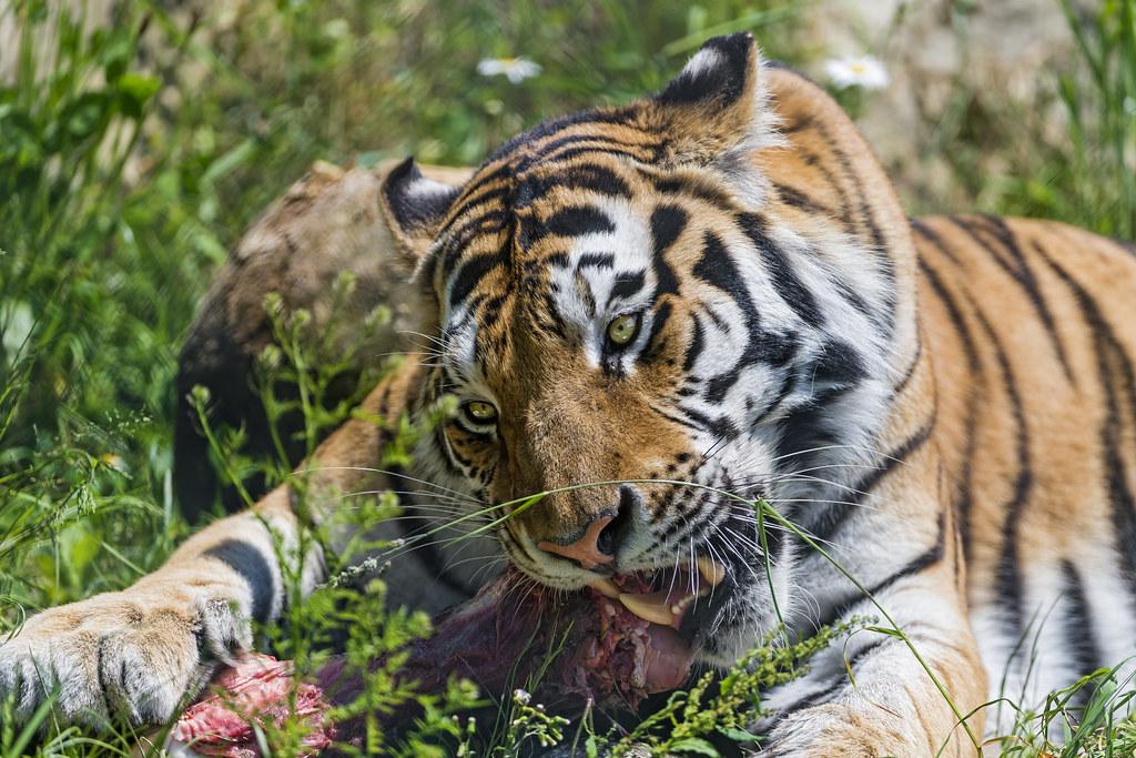 Tiger Eat Meat Tiger Eating Meat