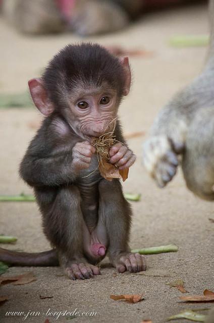 baboon baby | Explore jan-borgstede's photos on Flickr ...