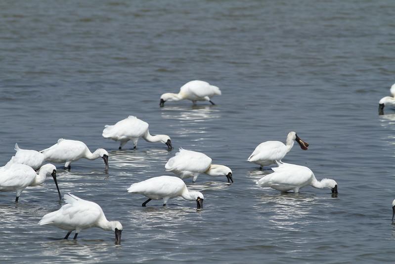 台南鳥會理事長郭東輝說,台灣雖畫設一些濕地保育黑琵,但濕地經營管理必須更積極。攝影:鄭和泰