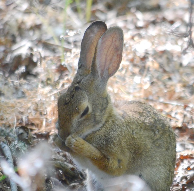 Flickr Eric Sonstroem Rabbit