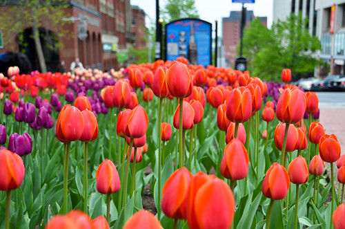 Tulips around Saint John