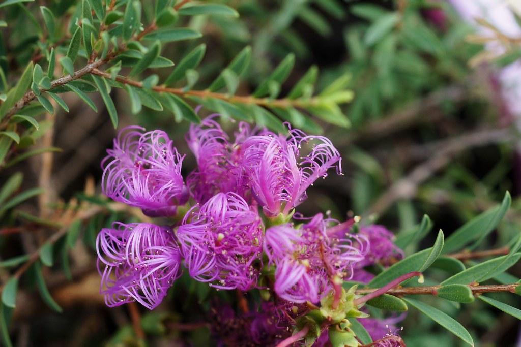 """Melaleuca thymifolia """"Little Beauty""""   Cultivar of ..."""