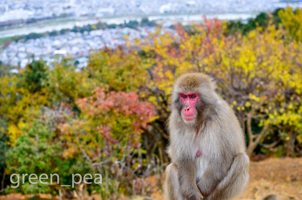 Iwatayama Monkey Park, Arashiyama, Kyoto, Japan. 嵐山モンキーパーク ...