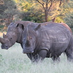 Best of Kruger 2014 White Rhino