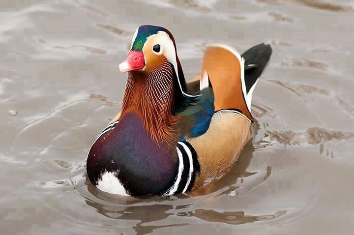 18708632114 06afae17fd o - Mandarin Ducks