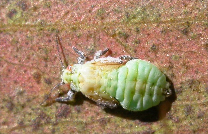 Psyllid insect
