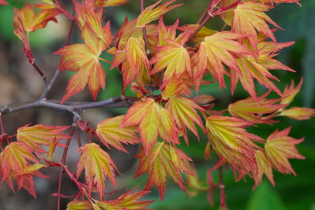 spring leaves acer palmatum 39 orange dream 39 flickr. Black Bedroom Furniture Sets. Home Design Ideas