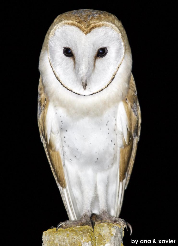 Coruja Das Torres Barn Owl Tyto Alba Em Liberdade In