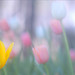 Tulips / Yellow Tulip/ Flower - IMG_1874--1000s