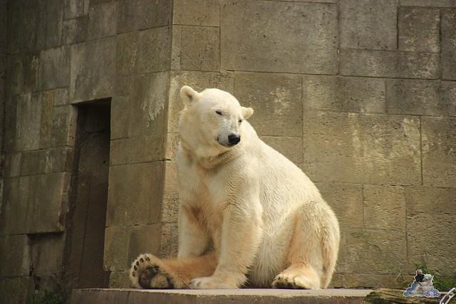 Eisbär Fiete im Zoo Rostock 14.06.2015  62