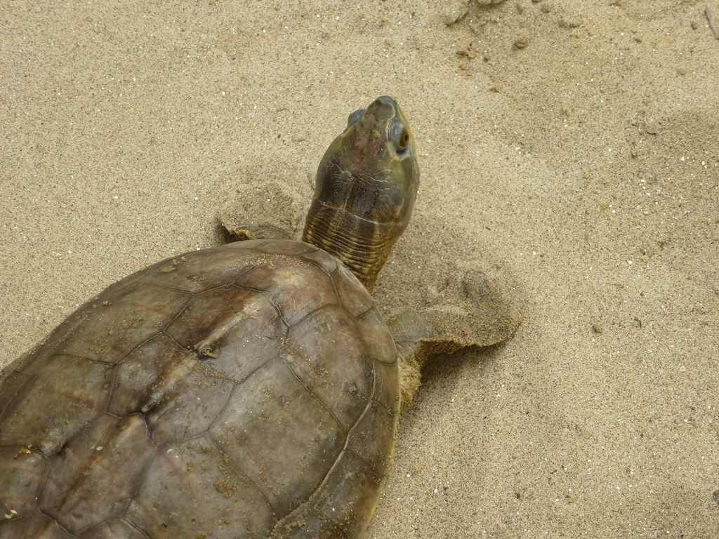 Kachua Kachua This Hard Shelled Herbivorous Turtle Is