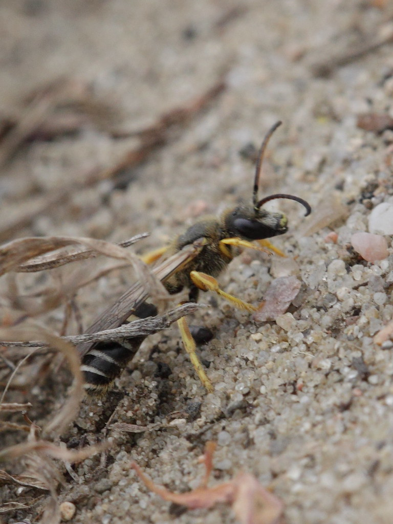Halictus scabiosae ? (Halictidae)   Phylum: Arthropoda ...
