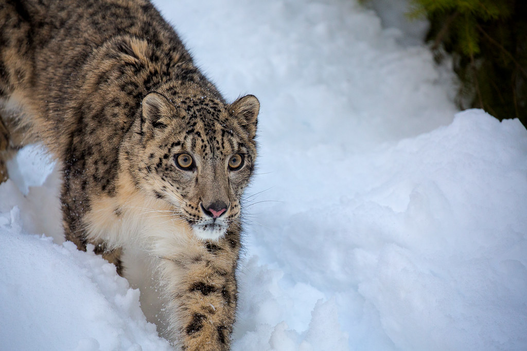 Close up of a Snow Leopard | Snow leopard is a beautiful ...