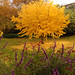 A yellow tree to amaze