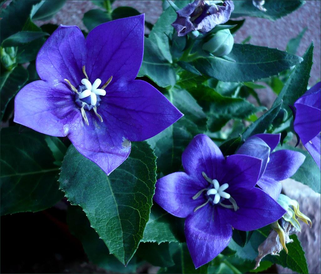 Kis KekSmall Blue Flowers