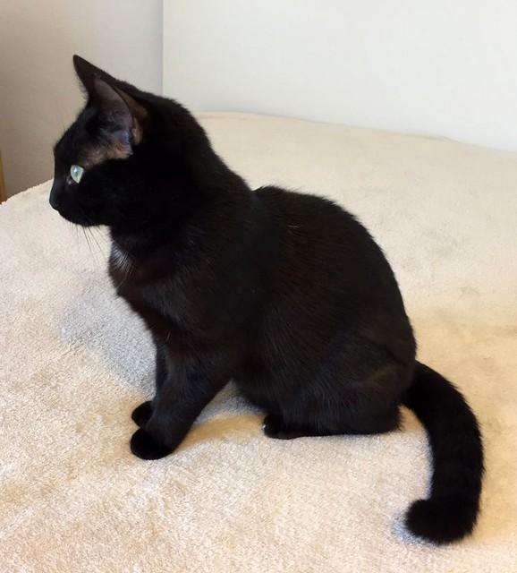 Morgana, gatita negra monísima, juguetona y tímida esterilizada, nacida en Julio´16, en adopción. Valencia. ADOPTADA. 33329569625_729e447fa4_z