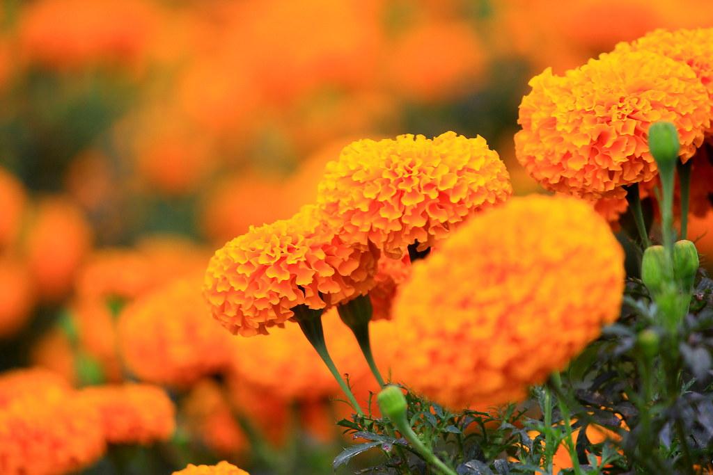 Hasil gambar untuk bunga gumitir