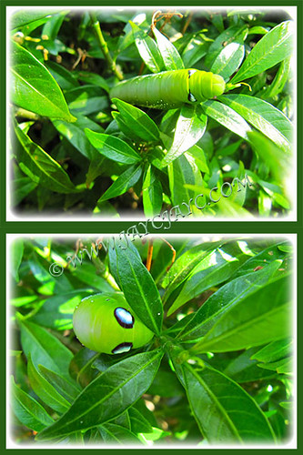 Fat green caterpillar on Dwarf Tabernaemontana divarcata, February 26 2014