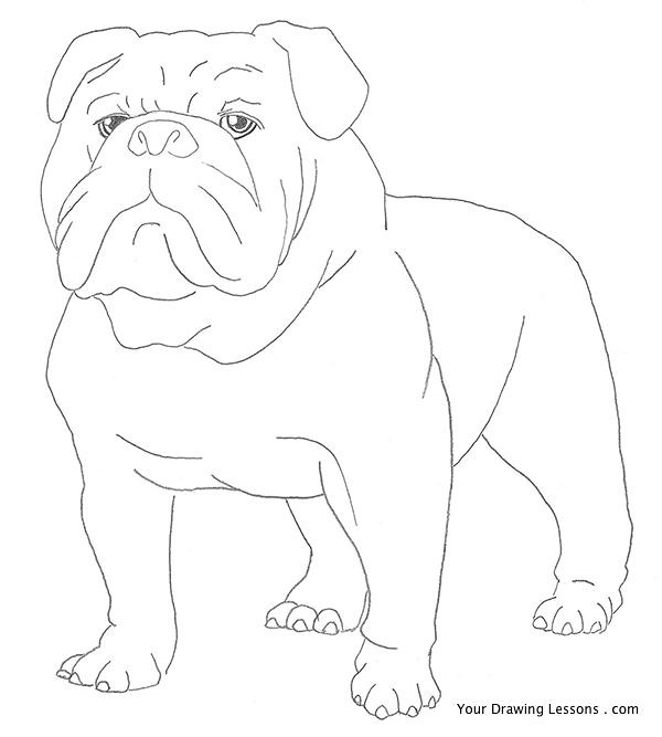 bulldog pencil drawing | A pencil drawing of the gruff but ...