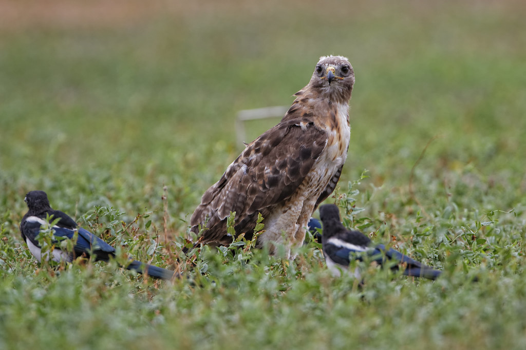 Red Tailed Hawk Eats Dog Red Tail Hawk Eats Prairie Dog