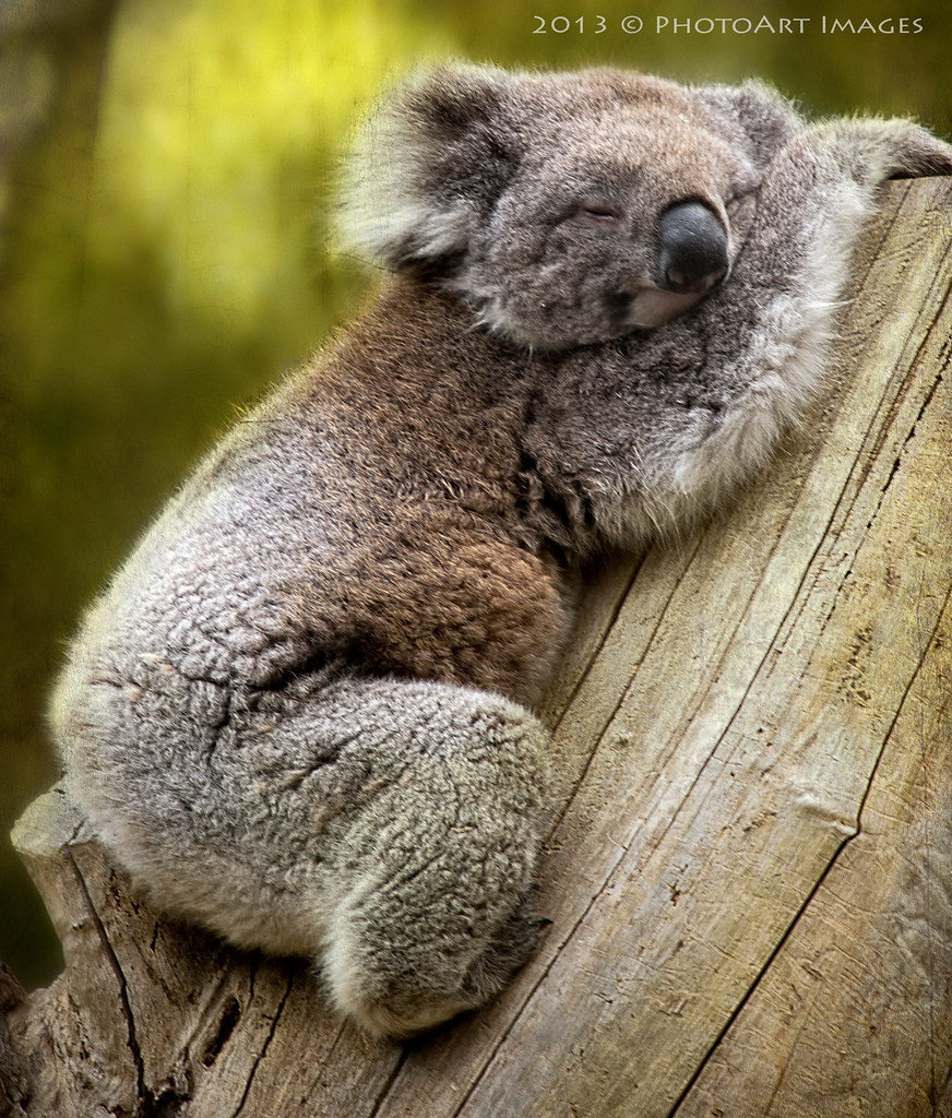 Koala Sleeping Wallpaper | www.imgkid.com - The Image Kid ...