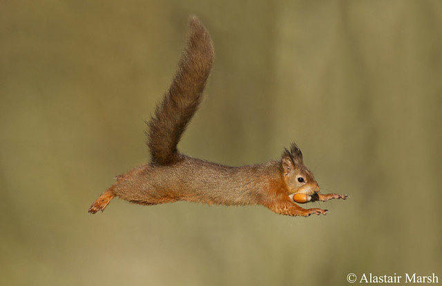 red jump fly squirrel - photo #15