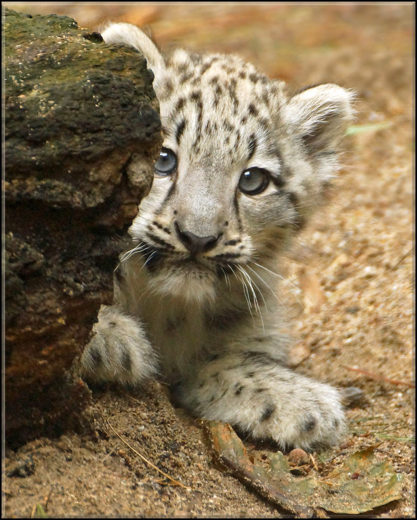 Snow Leopard Cub | Portrait of a three month old snow ... Leopard Cubs With Mother