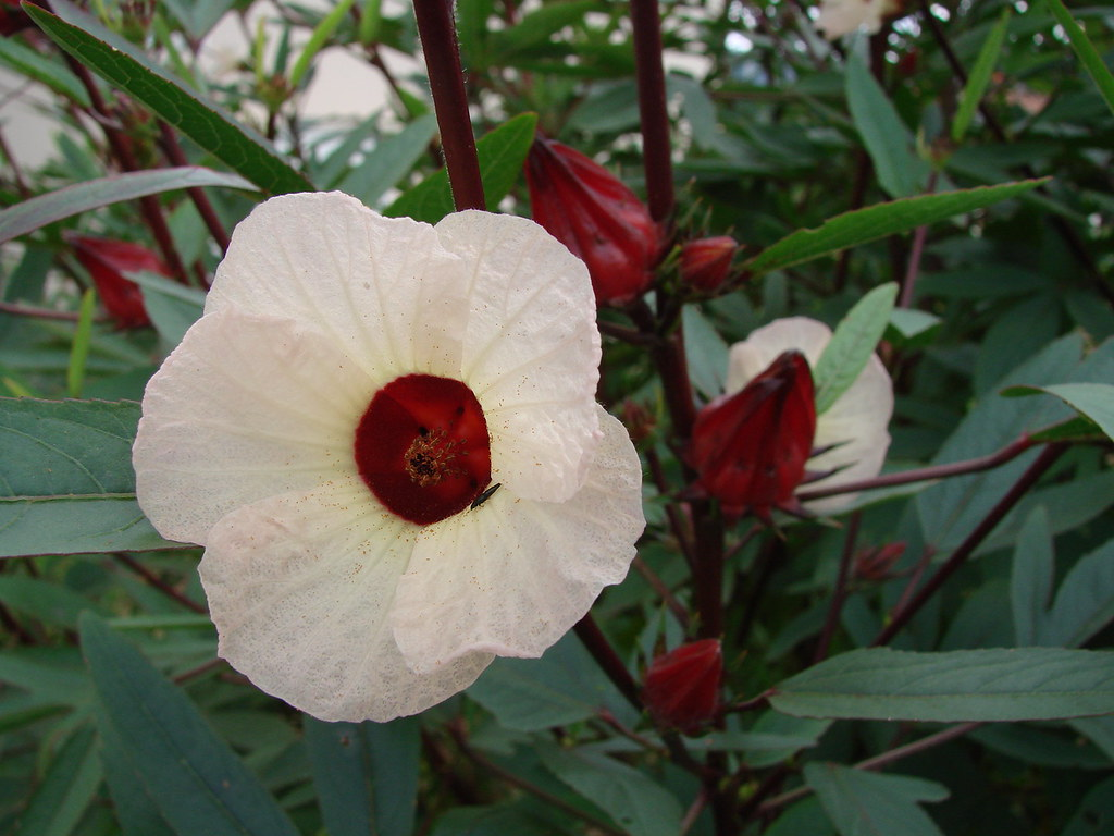 Hibiscus sabdariffa | ...