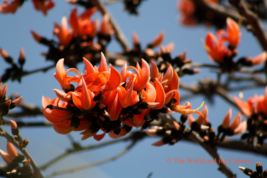 flower or fire flame! | Palash flower is the messenger of ...